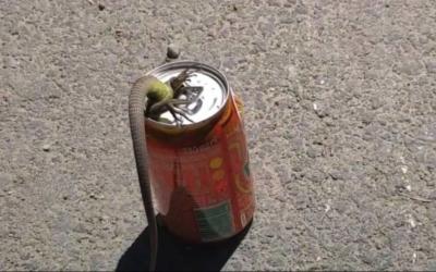 Keine leichte Befreiungsaktion: Echse steckt in Getränkedose fest